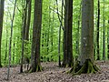 Kleinengelein, Buchen 332-245-331 (01.05.2012) 1.JPG
