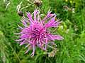 Knapweed with little bugs (16993573477).jpg