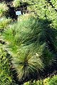 Koeleria macrantha - Botanischer Garten Braunschweig - Braunschweig, Germany - DSC04317.JPG