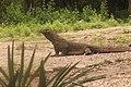 Komodo The Giant Lizard.jpg