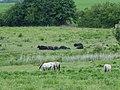 Koniks und Wasserbüffel im Naturschutzgebiet Schönerlinder Teiche, Brandenburg 2020 01.jpg