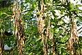 Korina 2013-05-06 Laburnum anagyroides 8.jpg