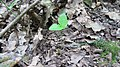 Korina 2013-07-23 Mahonia aquifolium.jpg