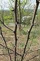Korina 2014-04-25 Robinia pseudoacacia 3.jpg