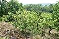 Korina 2016-05-28 Prunus serotina 3.jpg