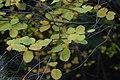 Korina 2016-10-15 Amelanchier alnifolia.jpg