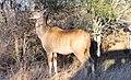 Krüger (female Kudu) 2.jpg
