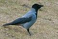 Krage Corvus corone.jpg