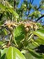 Kruška Rana Moretini - mali plodovi.JPG