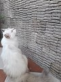 Kucing Putih Coklat.jpg