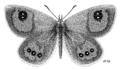 LEPI Nymphalidae Argyrophenga antipodum.png
