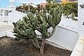 La Palma - El Paso - Calle Tanausú - Plaza Francisca de Gazmira + Myrtillocactus geometrizans 03 ies.jpg