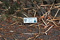 La Palma - El Paso - Carretera General Padron - Centro de visitantes de El Paso - Jardin Botanico - Aeonium holochrysum 01 ies.jpg