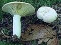 Lactarius chrysorrheus 13073760.jpg