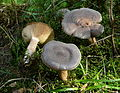 Lactarius mammosus I Sumava CZ.jpg