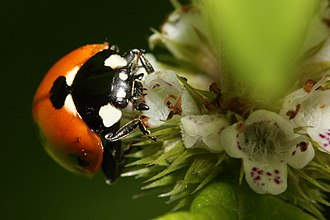 Hibernaculum (zoology) - A Lady beetle sits on a flower, drinking nectar