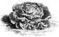 Laitue brune d'hiver Vilmorin-Andrieux 1883.png