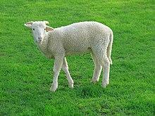 sheep wikipedia