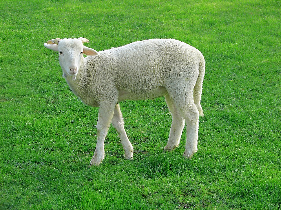 Lamb 09807-a