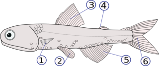 bony skin-covered spines or rays protruding from the body of a fish