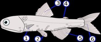 Lampanyctodes hectoris (1) pinne pettorali, (2) pinne ventrali, (3) pinna dorsale, (4) pinna adiposa, (5) pinna anale[1] (6) pinna caudale
