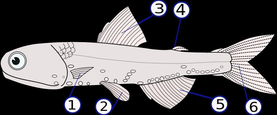 Lampanyctodes hectoris (fins)
