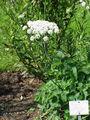 Laserpitium latifolium1.jpg