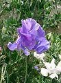 Lathyrus odoratus2.jpg