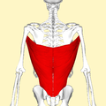 Latissimus dorsi muscle back2.png