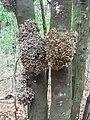 """Laurel parasitado por el hongo """"Madre de loro"""" (Exobasidium lauri).jpg"""