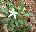 Laurentia longifolia.JPG
