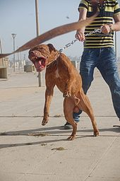 Pitbull Dog Training Classes