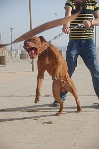 Leashed pitbull, lunging.jpg