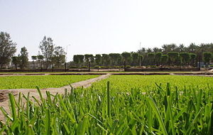 Image:Leeks farm in Unaizah