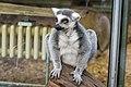 Lemur (37242095560).jpg