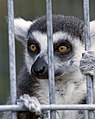 Lemur behind bars (3684553078).jpg