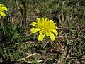 Leontodon saxatilis flowerhead10 NT (15903301563).jpg