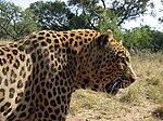 Leopard-Kruger-SouthAfrica-2005.JPG