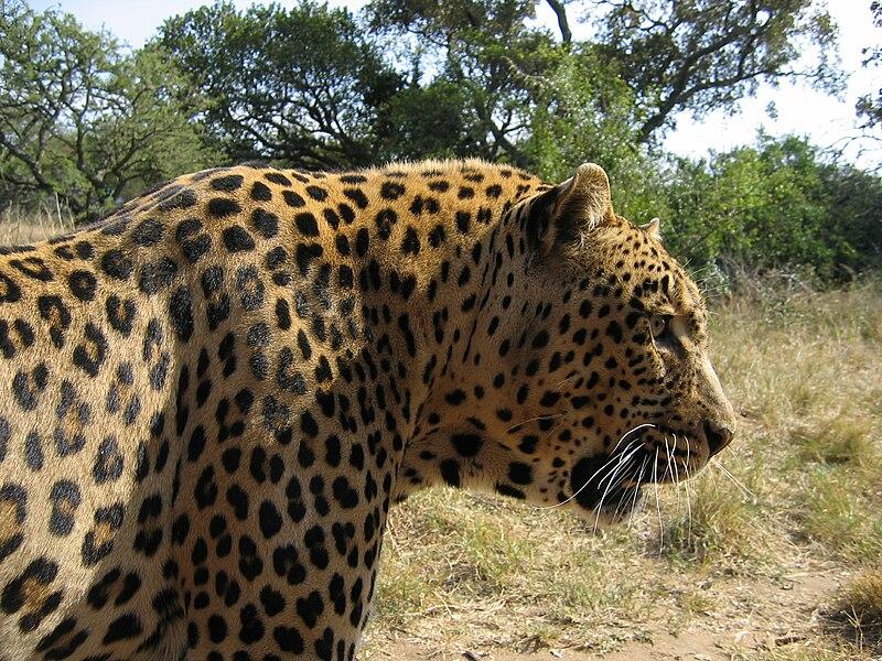 File:Leopard-Kruger-SouthAfrica-2005.JPG