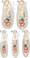 Lepotrema (Lepocreadiidae, Digenea) 11230 2018 9821 Fig03--07.png