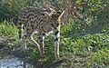 Leptailurus serval - ausgewachsener Serval.jpg