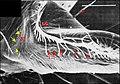 Leptoneta mâle, gnathocoxa 1.jpg