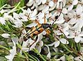 Leptura maculata var. undulata (2008-07-29).jpg