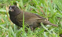 Lesser antillean bird2 1 male.jpg