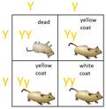 Lethal alleles punnett square.png