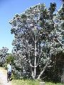 Leucodendron argenteum tree.jpg