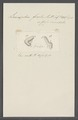 Leucophra fracta - - Print - Iconographia Zoologica - Special Collections University of Amsterdam - UBAINV0274 113 16 0019.tif