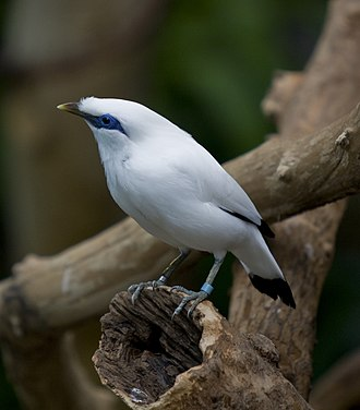 Bali myna - At Brookfield Zoo, United States
