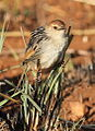 Levaillant's Cisticola, Cisticola tinniens at Suikerbosrand Nature Reserve, Gauteng, South Africa (14982613540).jpg