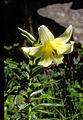 Lil monadelphum var armenum 02Infl Tuerkei Ziganapass 30 06 93.jpg